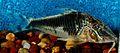 Corydoras semiaquilus.jpg