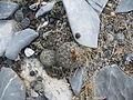 Coryphantha delicata (5661364558).jpg