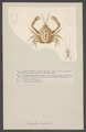 Corystes dentatus - - Print - Iconographia Zoologica - Special Collections University of Amsterdam - UBAINV0274 006 01 0048.tif