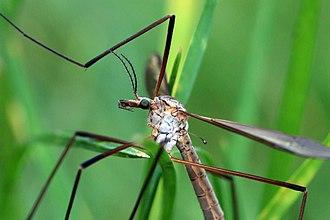 Tipula oleracea - Image: Crane fly (tipula oleracea) head