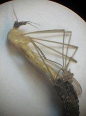 Crane fly eggs