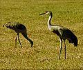 Cranes at Myakka.jpg