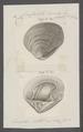 Crassatella tumida - - Print - Iconographia Zoologica - Special Collections University of Amsterdam - UBAINV0274 079 09 0006.tif