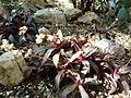 Crassula orbicularis var rosularis.jpg