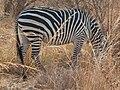 Crawshays zebra shadowed AZH2010 533.jpg