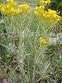 Crepis acuminata (3432271397).jpg