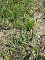 Crepis praemorsa sl34.jpg