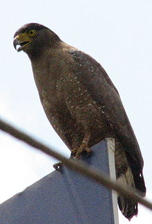 Crested Sperpent Eagle 1.jpg