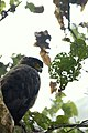 Crested serpent eagle at Chitwan, Nepal (2).jpg