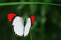 Crimson Tip male Butterfly - Colotis danae.jpg