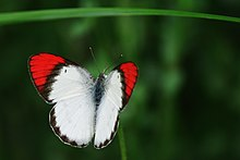 Crimson Tip male Butterfly - Colotis danae.jpg
