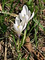 Crocus albiflorus 2.JPG