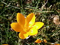 Crocus ancyrensis close-up2.JPG
