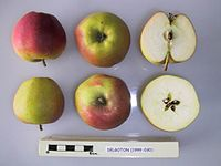 Cross section of Delgoton, National Fruit Collection (acc. 1999-030).jpg