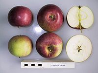 Cross section of Taunton Cross, National Fruit Collection (acc. 1929-034).jpg