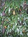 Croton verreauxii Eastwood.JPG