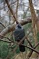 Crow (25643903388).jpg