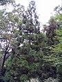 Cryptomeria japonica Yoshino 3zz.jpg