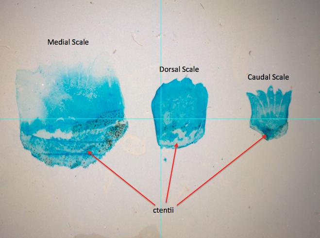 Ctenoid Perch Scales