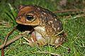 Cuban Spotted Toad (Peltophryne taladai) (8575064970).jpg