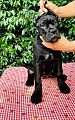 Cucciolo femmina cane corso nord Italia.jpg