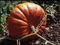 Cucurbita maxima getting ready for harvest peduncle.jpg