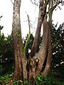 Cupressus guadalupensis trunk1.JPG