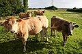 Curious cattle - geograph.org.uk - 497391.jpg