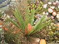 Cycas revoluta (2943602861).jpg