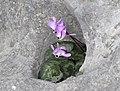 Cyclamen pseudibericum - False Iberian cyclamen 07.jpg