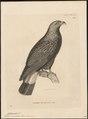 Cymindis uncinatus - 1700-1880 - Print - Iconographia Zoologica - Special Collections University of Amsterdam - UBA01 IZ18200368.tif