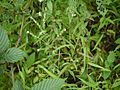 Cynoglossum ¿ lanceolatum Forssk. ? (5088596833).jpg