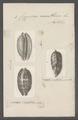 Cypraea exanthema - - Print - Iconographia Zoologica - Special Collections University of Amsterdam - UBAINV0274 088 02 0011.tif
