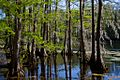 Cypress Trees in Greenfield Lake.jpg