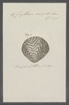 Cytherea scripta - - Print - Iconographia Zoologica - Special Collections University of Amsterdam - UBAINV0274 078 01 0047.tif