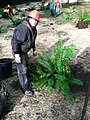 DYS Worker Planting Fern at McCredie Day Use Area, Willamette National Forest (34758931511).jpg