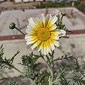 Daisy Flower 1.jpg