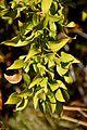 Danae racemosa in Jardin des Plantes de Toulouse 01.jpg