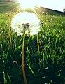 Dandelion sun.jpg