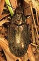 Darkling Beetle - Bothrotes canaliculatus, Dinner Island Ranch Wildlife Management Area, Florida.jpg