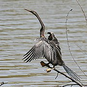 Oriental Darter. Adult of this now rare species