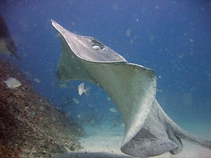Fish fin - Stingrays get thrust from large pectoral fins