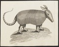 Dasypus spec. - 1700-1880 - Print - Iconographia Zoologica - Special Collections University of Amsterdam - UBA01 IZ21000079.tif