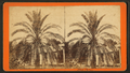 Date palm, by Havens, O. Pierre, 1838-1912.png