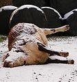 Dead bullock in winter.JPG