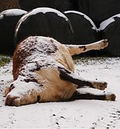 a dead red and white bullock covered with snow