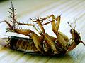 Deadroach.jpg