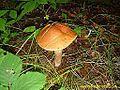 Dedek (Boletus) - Fungus - panoramio.jpg