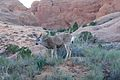 Deer in Arches National Park (3458779256).jpg