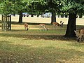 Deer near Diana Fountain in Bushy Park - geograph.org.uk - 1983424.jpg